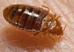 مكافحة بق الفراش  شركة مكافحة حشرات بالرياض بالخرج 0503152005 Bed bug Cimex lectularius