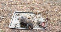 شركة مكافحة الفئران الخرج