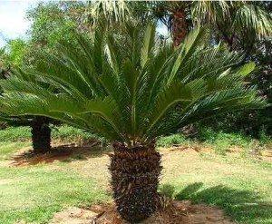 شركة توريد اشجار بالرياض شركة تنسيق حدائق شركة تنسيق حدائق وبيع أشجار بالرياض 0594724750 Cycas trees live trees garden decoration