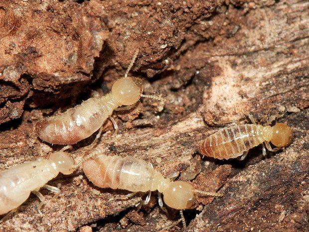 مكافحة النمل الابيض بعنيزة وبريدة