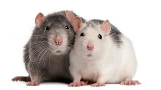 افضل شركة مكافحة فئران بالدوادمي