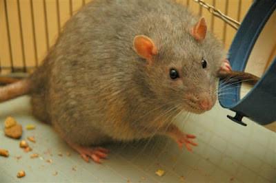 شركة مكافحة فئران بالدوادمي
