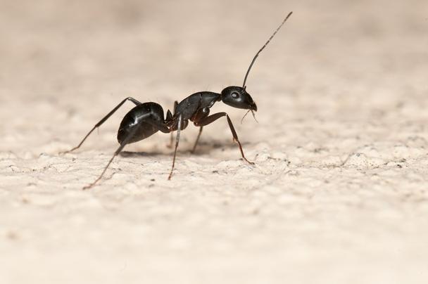 كيف تتخلصي من النمل المنتشر في منزلك