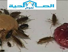 شركة مكافحة الصراصير فى رياض الخبراء