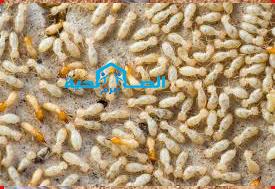 شركة مكافحة النمل الابيض بالزلفى