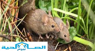 Photo of شركة مكافحة الفئران فى رياض الخبراء 0533942977