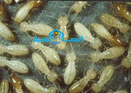 Photo of شركة مكافحة النمل الابيض بالبكيرية 920008956