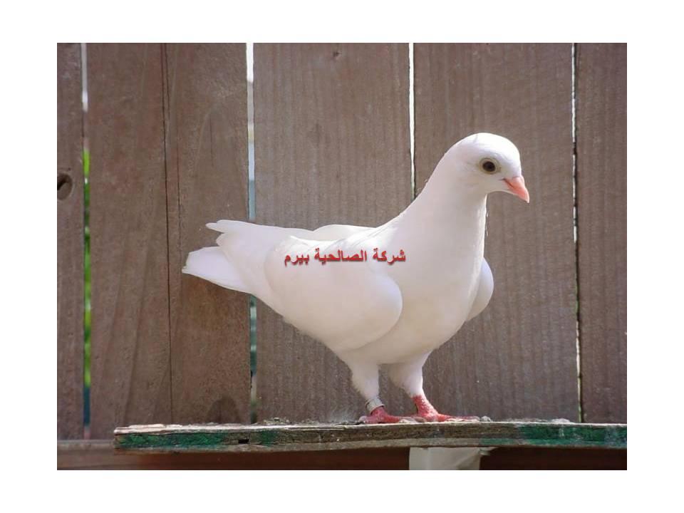 Photo of شركة مكافحة الحمام بالبدائع 0533942977